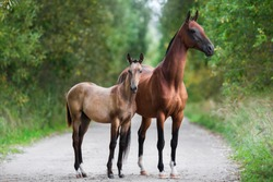 two horses, a portrait of Akhal-Teke horses mare and foal stand on the road in summer