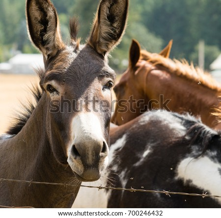 Two horses and a mule in rural Washington State in unincorporated Pierce County by Yelm and Roy #700246432