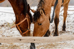 Two horses eat hay, in winter grass in the paddock. Portrait of white beautiful horses in winter. Snowy weather.
