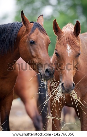 Two horses eating hay.