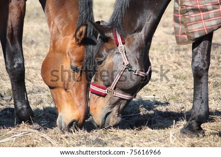 Two horses eating old grass close up