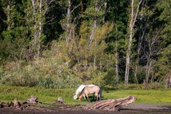 Two horses eating on the bank of lake with dead tree in foreground and green trees in background