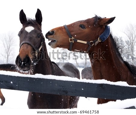 Two horses (Equus ferus caballus) interacting.