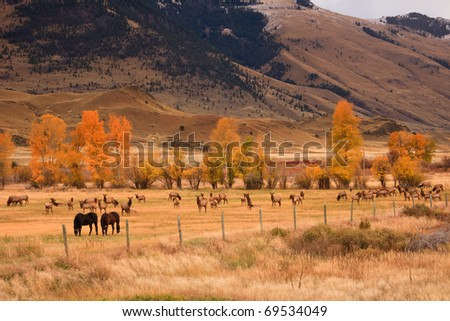 Two horses grazing along side a large herd of elk in Montana.