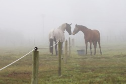 Two horses greeting each other over a fence in a field in the mist.  The fog surrounds two dark horses facing each other in a paddock