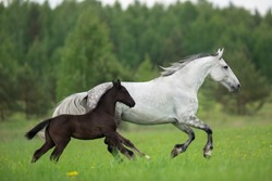 two horses grey white mare and bay foal mother and child family run in the summer field