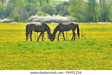 Two horses having heads near each other are eating dandelions in the meadow
