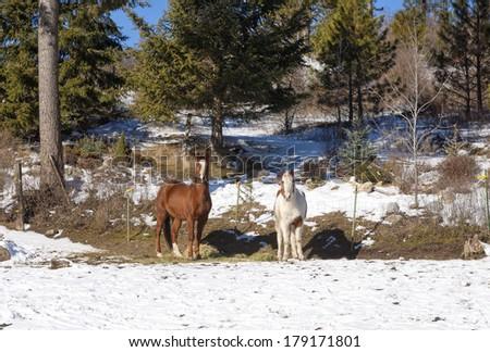 Two horses in winter in Hauser Lake, Idaho.