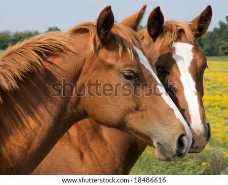 Two Horses kissing