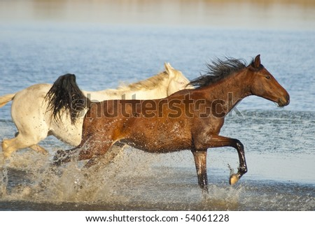 Two horses - one brown and one white, running in the water