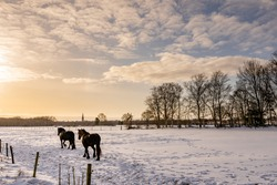 Two horses running trough a grassland covered with snow with beautiful soft yellow morning light. On the background there is a church tower and a windmill.