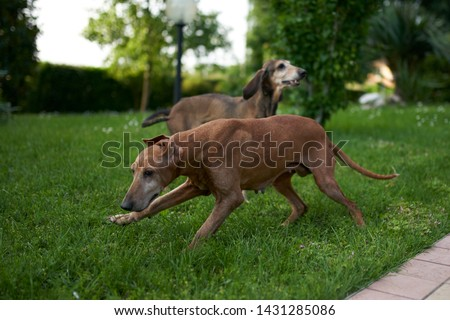 two hounds play in a meadow #1431285086