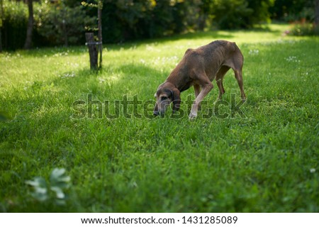 two hounds play in a meadow #1431285089