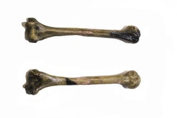two human leg bones. Has white background