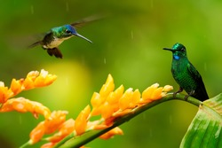 Two hummingbirds, Empress Brilliant, Heliodoxa imperatrix and Andean Emerald, Amazilia franciae fighting for nectar from orange flower. Hummingbirds against green background. Montezuma, Colombia.