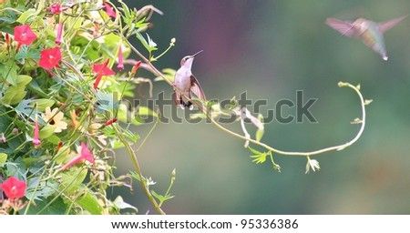 Two hummingbirds flirt.