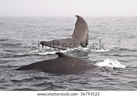 Two Humpback Whale