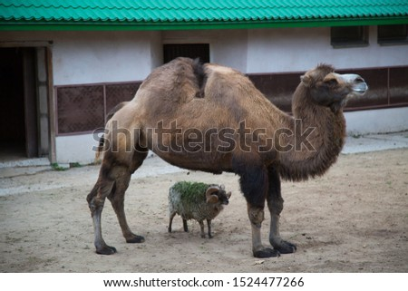 Two-humped camel, Camelus bactrianus,  stands with a small lamb in the zoo enclosure. Wildlife, mammals, fauna.