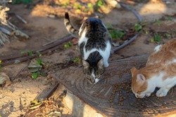 Two hungry multicolored stray cats are eating cat food. People help stray animals. On a sunny day
