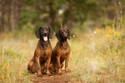 two hunting dogs breed Bavarian mountain hound hunting in the woods