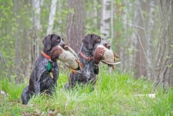 two hunting dogs with ducks