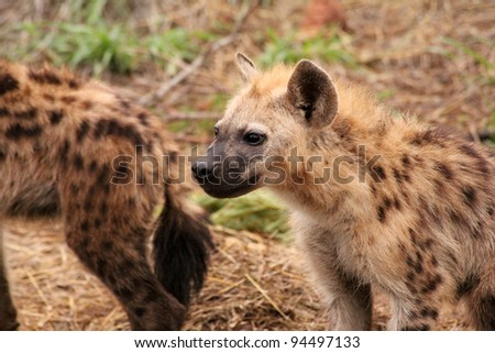 Two hyena's in the Kruger National Park