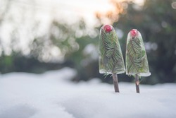 Two ice creams on a stick of evergreen branches stuck in the snow