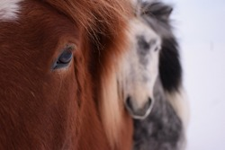 Two Icelandic horse friends hugging