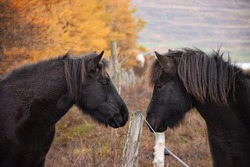 Two Icelandic horse greeting each other