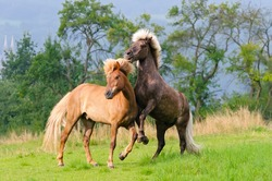 Two icelandic horses playing, rearing and frolicking around in a meadow in spring, a chestnut and a silver dapple colored pony.
