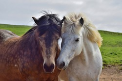 Two Icelandic horses put their heads in friendship together. One is white and the other dappled brown.