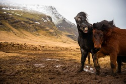 Two Icelandic horses stand close together in the windy cold winter weather with hair blowing in the wind majestic lip curled horse biting irritated funny best friends trekking