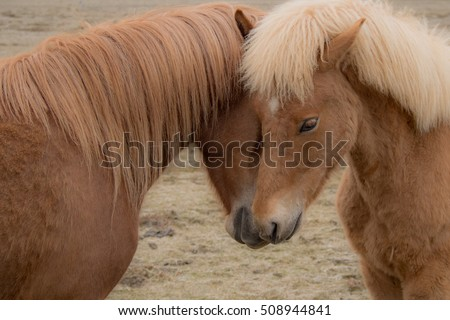 Two Icelandic ponies nuzzle up against each other forming a heart shape with their heads.