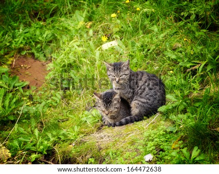 Two identical gray domestic cats somewhere in nature.