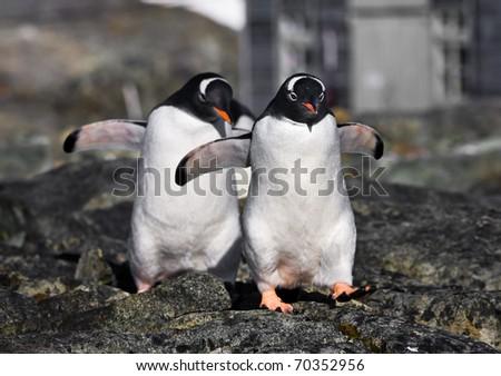 Two identical penguins in Antarctica