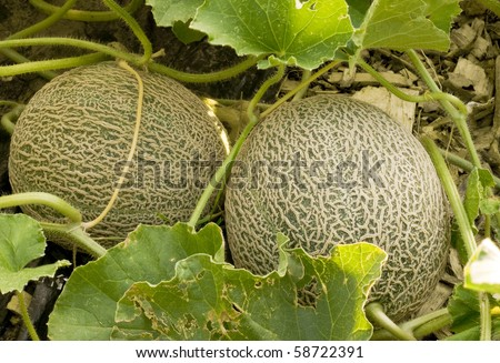two immature cantaloupe still growing on their vines - stock photo