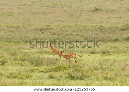 Two impalas running in the grasslands of the Nairobi National Park