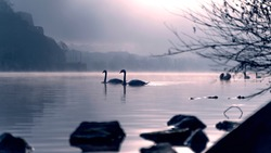 Two in love swans on a lake or river in early morning fog