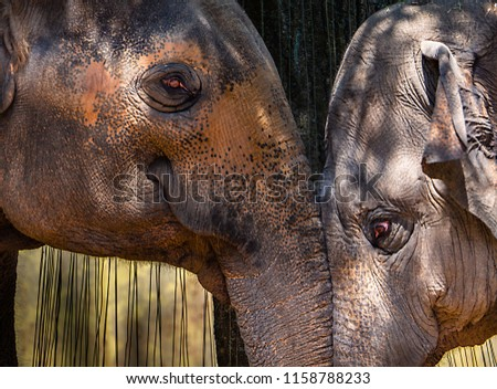 Two indian elephants-head to head #1158788233