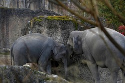 Two Indian elephants, in Latin called Elephas maximus indicus in lateral view, adult animal and young one, living in captivity. They play with an interactive concrete wall in their enclosure.