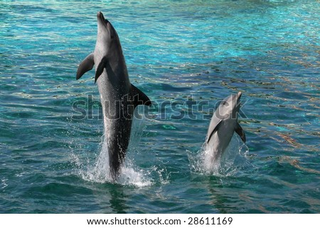 Two Indian Ocean bottlenose dolphins leaping out of the water