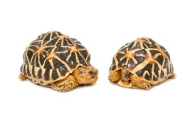 Two Indian Starred Tortoise  on white background