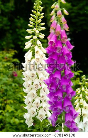 Two inflorescences of common Purple Foxglove 'Gloxiniaeflora', also known as Fairy Thimbles (Digitalis purpurea) with spotted white and pink flowers