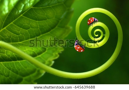 Two insects ladybirds on leaf curl spiral on a soft blurred green background. Original concept of the idea, beautiful cheerful colorful artistic image of insects in nature. Macro close-up.