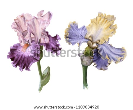 Two iris. Isolated on white background. Watercolor illustration