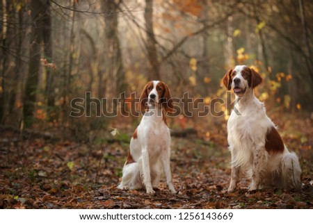 two Irish red and white setter dogs sitting in autumn forest #1256143669