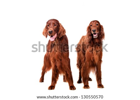 Two Irish Red Setters - isolated over a white background