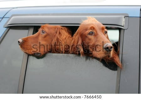 two irish setters looking out of car window