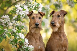two irish terrier dogs posing together in spring