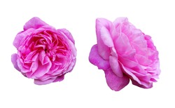 Two isolated pink climbing rose flowers. One flower is photographed in frontally, the other is photographed from the side.